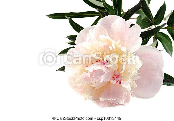 Peony flower - csp10813449