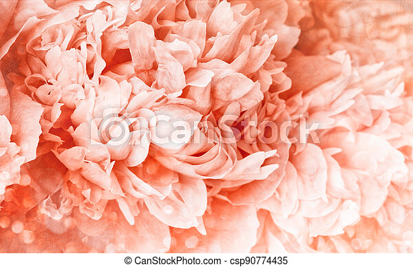 Peony flower with soft  light background - csp90774435