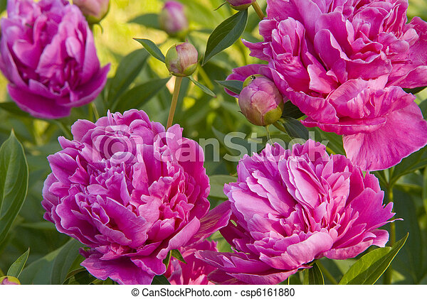 Peony hot pink peony blooms pink flowers on green background closeup peony hot pink csp6161880 mightylinksfo
