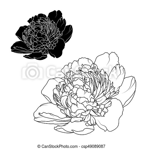 Peony rose flowers isolated black white contrast peony rose flowers peony rose flowers isolated black white contrast csp49089087 mightylinksfo