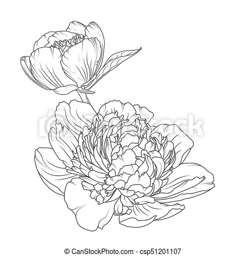 Peony rose flowers isolated black white sketch peony rose blooming peony rose flowers isolated black white sketch csp51201107 mightylinksfo