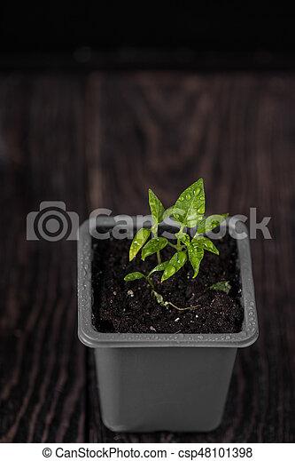 Pepper growing in a pot - csp48101398