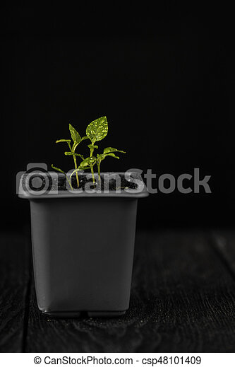 Pepper growing in a pot - csp48101409