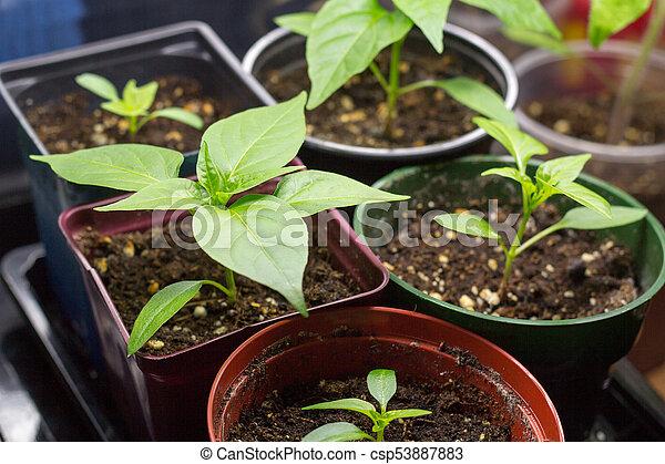 pepper plant growing indoor - csp53887883