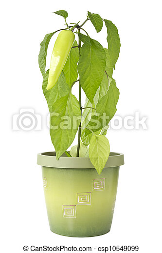 Pepper plant in a pot - csp10549099