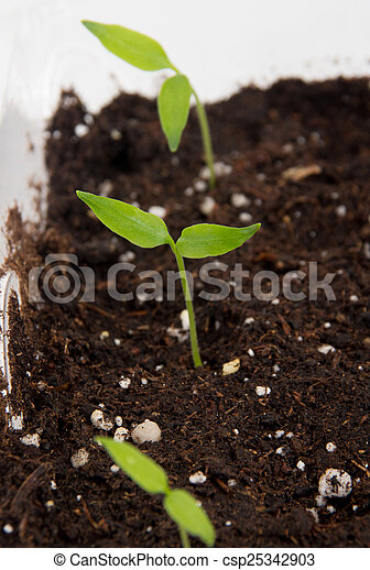 Pepper plant sprouted on soil indoo - csp25342903