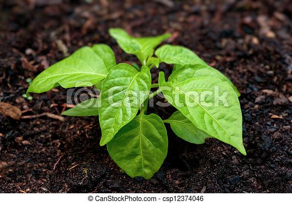 Pepper seedling plant in soil - csp12374046