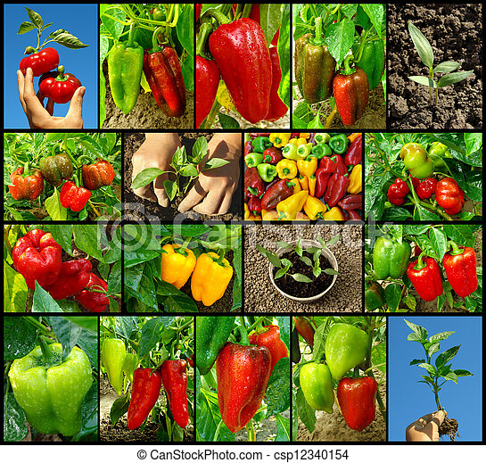 peppers collection - csp12340154