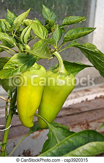 Peppers ripening on a plant - csp3920315