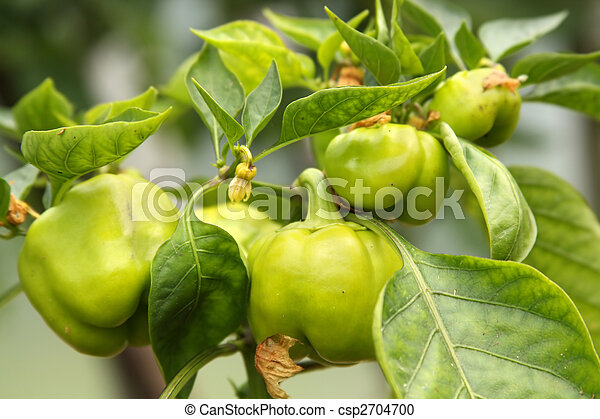 peppers ripening on the plant - csp2704700