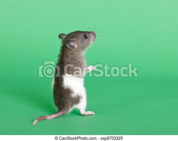 Pequeña rata curiosa - csp9703325