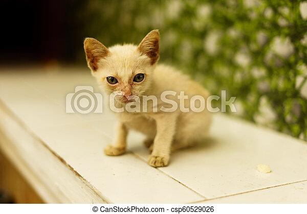 El gato pequeño está aislado en un fondo blanco. - csp60529026