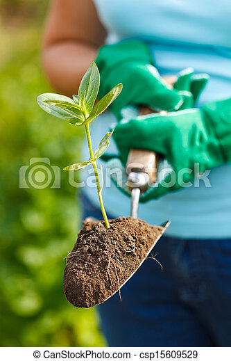 Planta en la tierra en una pala pequeña - csp15609529