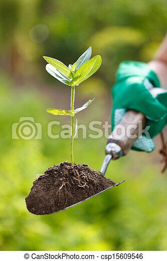 Planta en la tierra en una pala pequeña - csp15609546