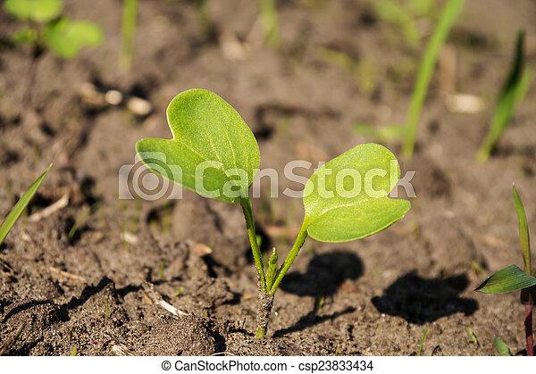 pequeno, planta - csp23833434