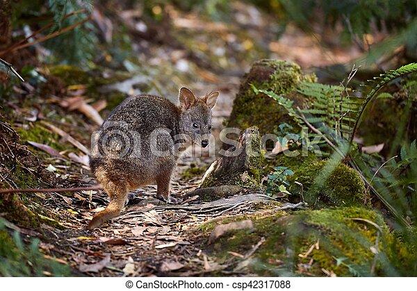 pequeno, wallaby, floresta - csp42317088