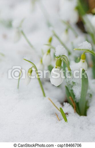 perce-neige, neige, printemps - csp18466706