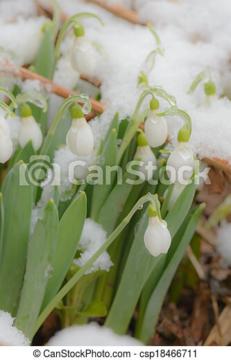 perce-neige, neige, printemps - csp18466711