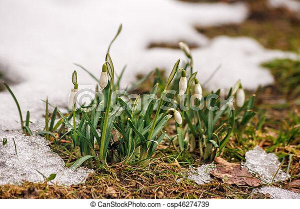 perce-neige, printemps, fleurir - csp46274739
