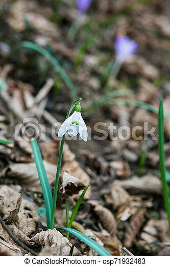 perce-neige, printemps, forêt - csp71932463