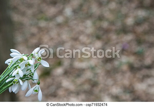 perce-neige, printemps, forêt - csp71932474