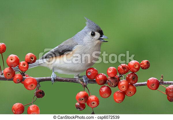 Pájaro en una perca con cerezas - csp6072539
