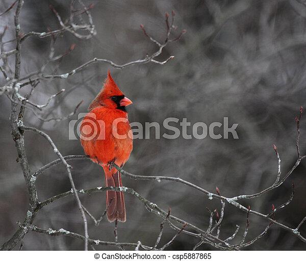 Perched Cardinal - csp5887865