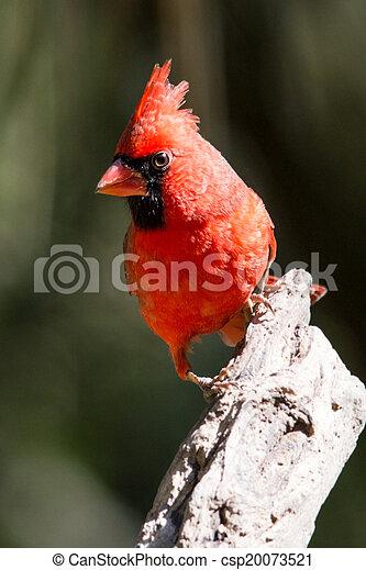 Perched Cardinal - csp20073521