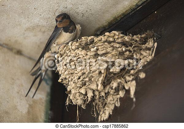 perched, nido, el suyo, golondrinas - csp17885862