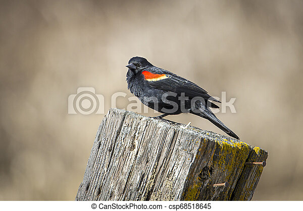 Perched red winged blackbird. - csp68518645