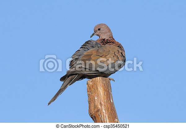 Perching Laughing Dove in Sharm el-Sheikh - csp35450521