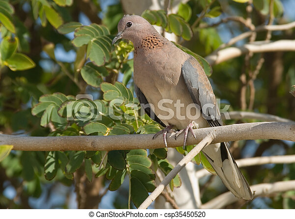 Perching Laughing Dove in the resort of Sharm el-Sheikh - csp35450520