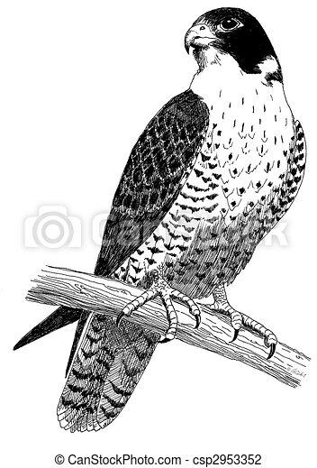 peregrine falcon falco peregrinus duck hawk rh canstockphoto com falcon clipart free falcon clipart images