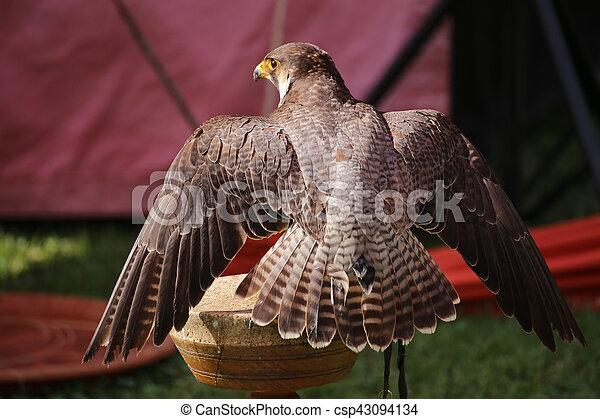 Peregrine falcon (Falco peregrinus) sitting on a wooden platform - csp43094134