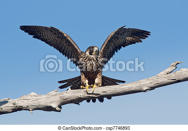 Peregrine Falcon (Falco peregrinus anatum) - csp7746893
