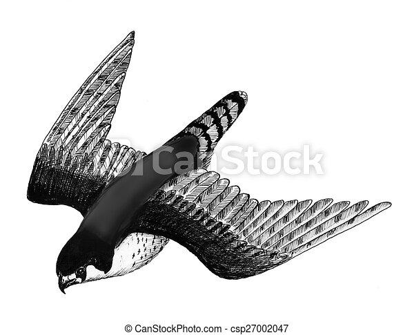 Peregrine Falcon in flight - csp27002047