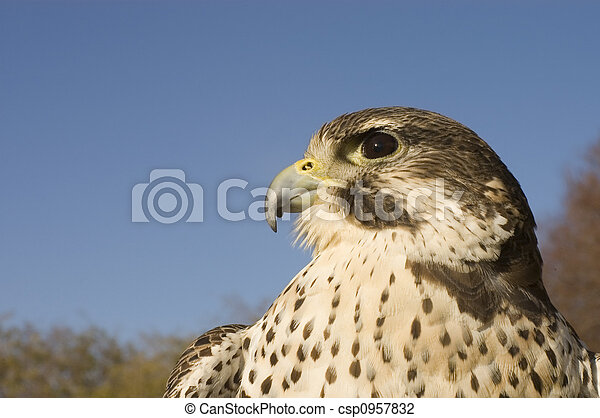 Peregrine falcon - Merlin crossbreed - csp0957832