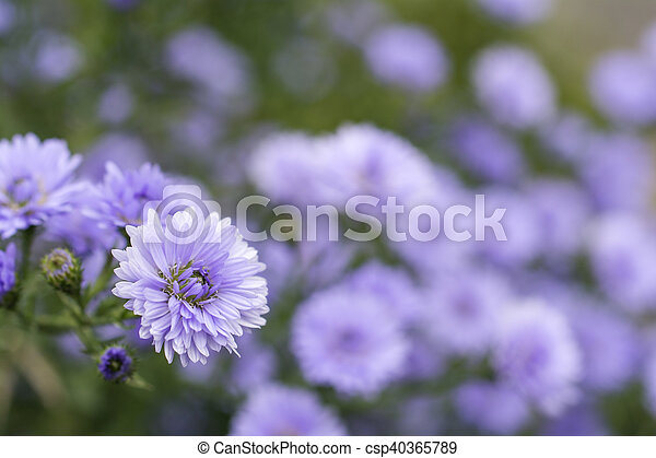 Close up purple perennial aster flower in front of flower perennial aster csp40365789 mightylinksfo