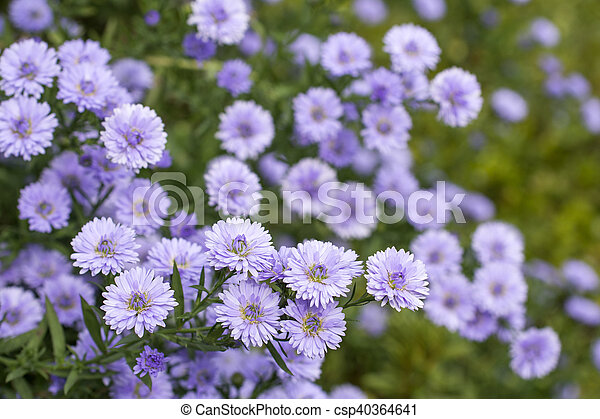 Purple perennial aster flowers in green field stock photo search perennial aster csp40364641 mightylinksfo