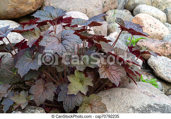 Perennial plant heuchera hybrid known as alum root in rockery in the garden - csp70792235