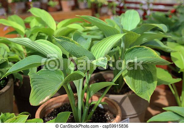 Perennial Plant Hosta Hosta Is A Genus Of Perennial Herbaceous