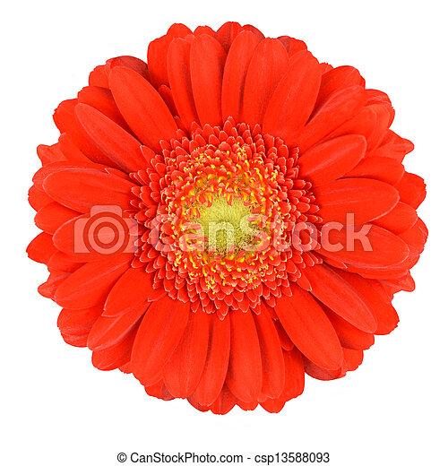 Perfect Orange Gerbera Flower Isolated on White - csp13588093
