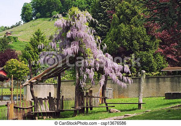 Pergola overgrown with flowering acacia - csp13676586