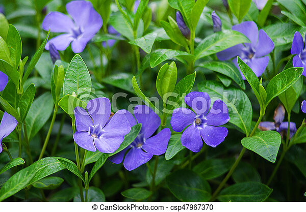 Periwinkle blue flowers are beautiful in spring day periwinkle blue flowers are beautiful in spring csp47967370 mightylinksfo