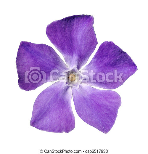 Top view of periwinkle purple flower vinca minor isolated on periwinkle purple flower vinca minor isolated on white csp6517938 mightylinksfo