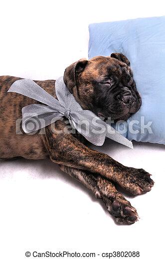 Puppy durmiendo en una almohada - csp3802088