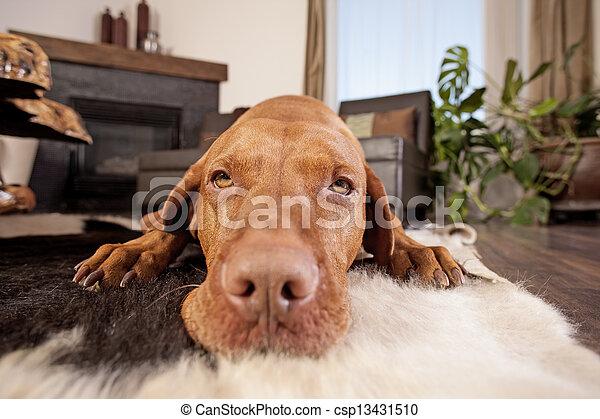 Perro tirado en el cuarto de familia - csp13431510