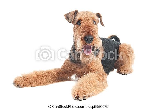 Airedale terrier perro aislado - csp5950079