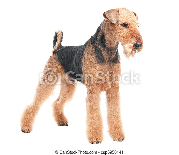 Airedale terrier perro aislado - csp5950141