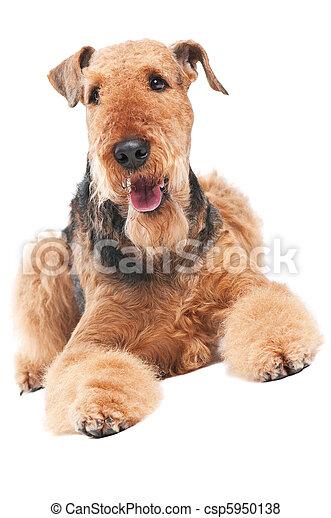 Airedale terrier perro aislado - csp5950138